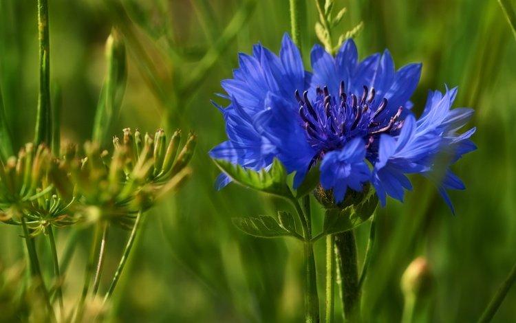 трава, макро, цветок, размытость, василек, полевой цветок, grass, macro, flower, blur, cornflower, wild flower