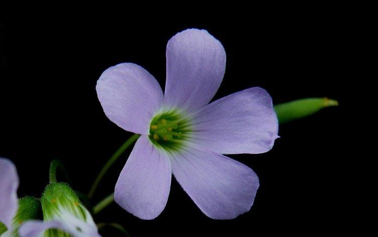 macro, background, flower, petals, oxalis
