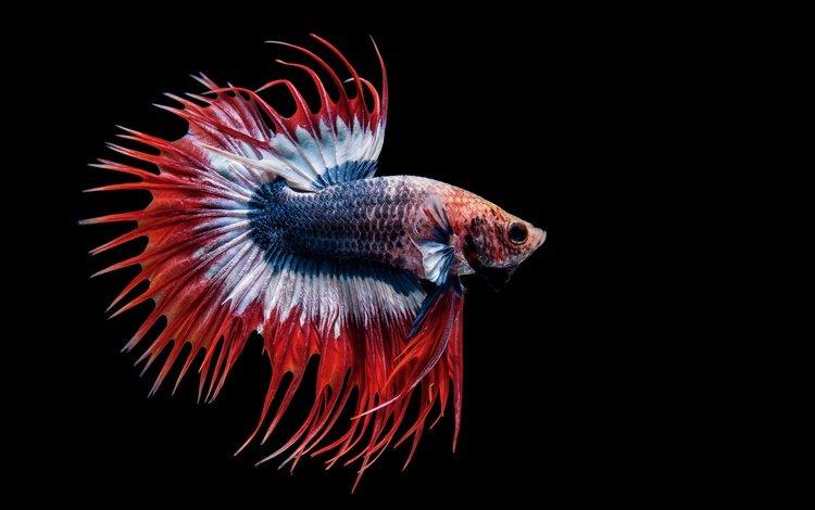 макро, черный фон, рыбка, рыба, петушок, macro, black background, fish, cock