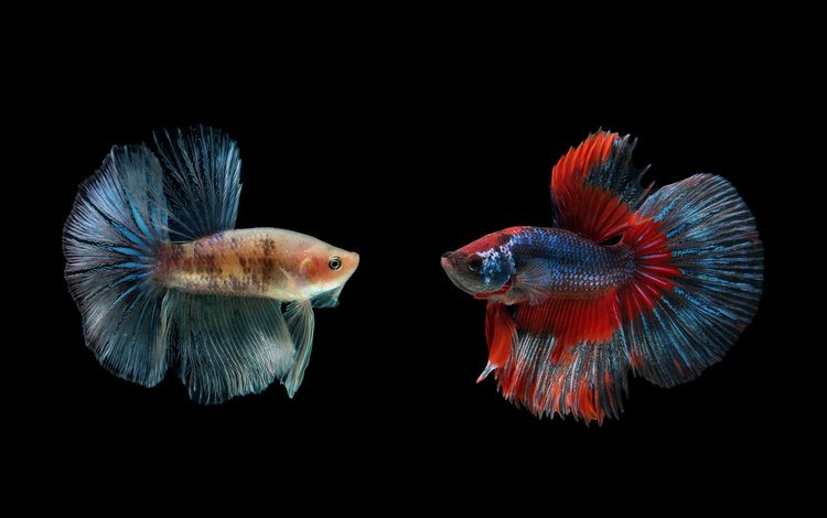 macro, fish, black background, rumble fish, siamese cock, petushki
