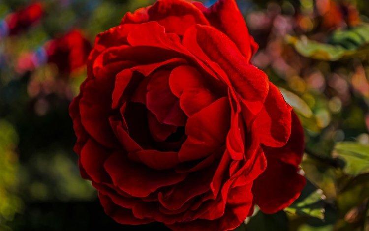 macro, flower, rose, petals, glare, bud