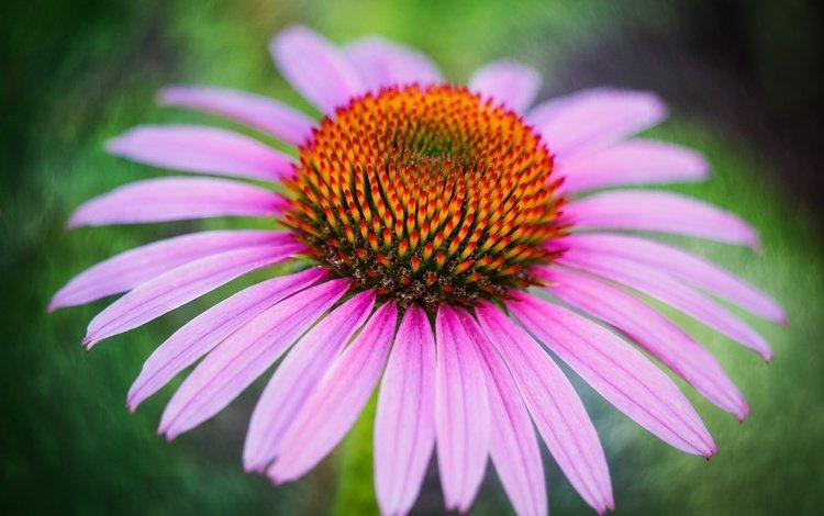 макро, цветок, лепестки, эхинацея, macro, flower, petals, echinacea