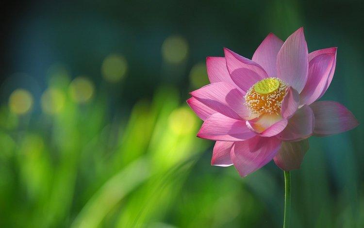 macro, petals, lotus