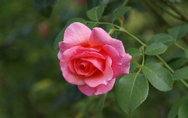 macro, flower, rose, petals, bud, pink rose