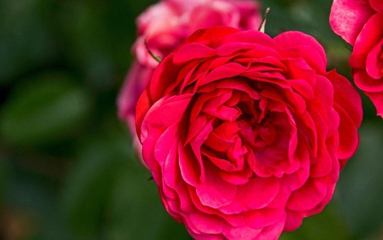 flowers, buds, macro, roses, rose, petals