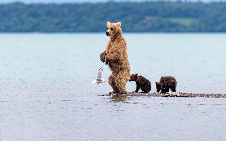 вода, медведь, чайка, птица, медведица, медвежата, water, bear, seagull, bird, bears