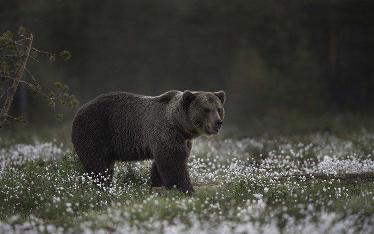 морда, цветы, природа, взгляд, медведь, face, flowers, nature, look, bear
