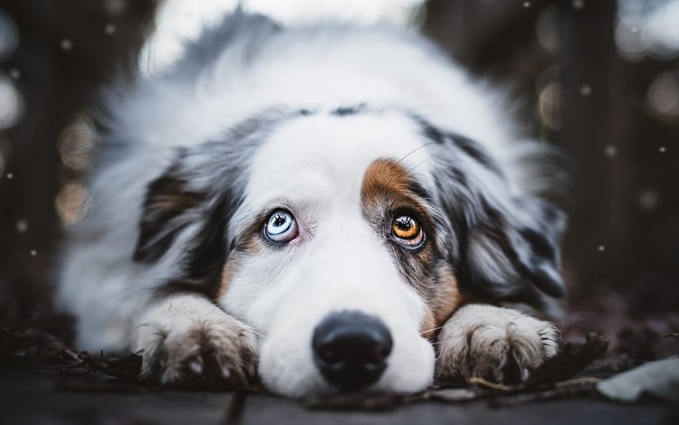 face, portrait, paws, look, dog, lies, the dark background, bokeh, australian shepherd, spotted, different eyes, aussie