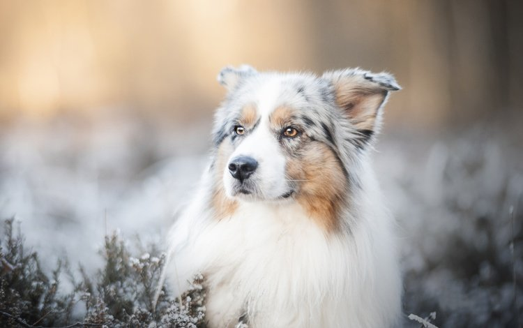 морда, собака, размытость, боке, австралийская овчарка, аусси, face, dog, blur, bokeh, australian shepherd, aussie