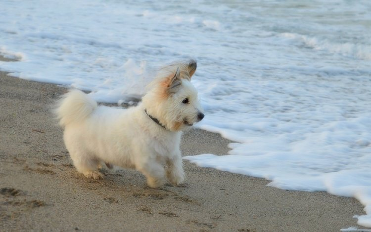 sea, sand, beach, muzzle, look, dog, puppy, the west highland white terrier