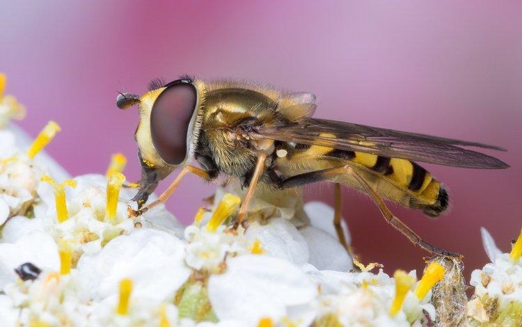 насекомое, цветок, оса, жало, insect, flower, osa, sting