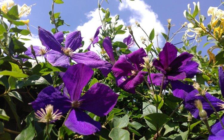 небо, цветы, листья, лепестки, фиолетовые, клематис, ломонос, the sky, flowers, leaves, petals, purple, clematis