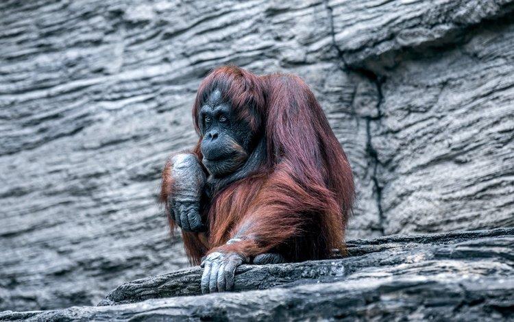 monkey, zoo, orangutan