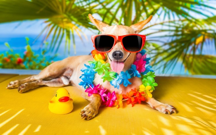 glasses, dog, palma, stay, humor, language, jack russell terrier, duck