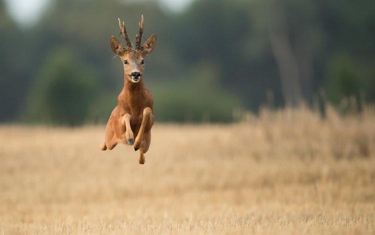 олень, полет, поле, рога, бег, deer, flight, field, horns, running
