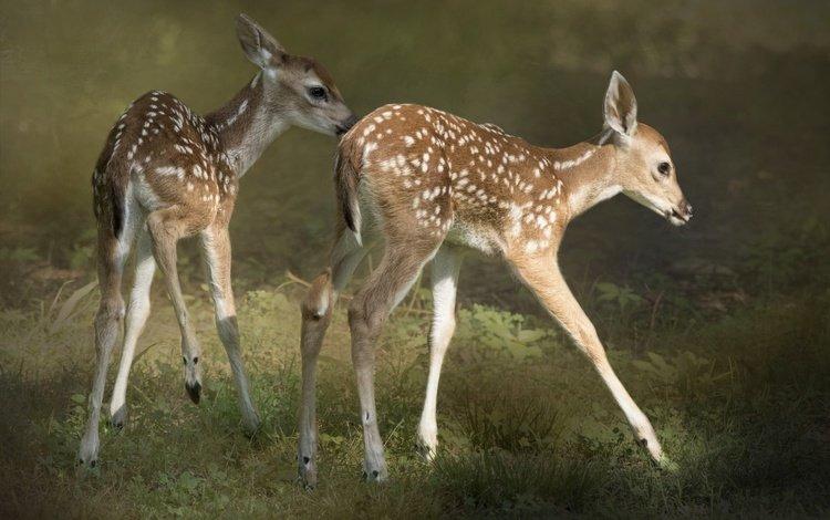deer, wool, kids, fawn, fawns