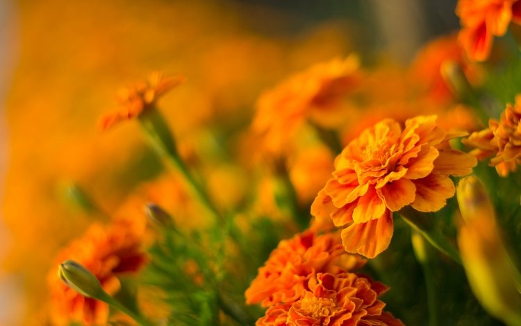 flowers, blur, bokeh, marigolds, orange flowers