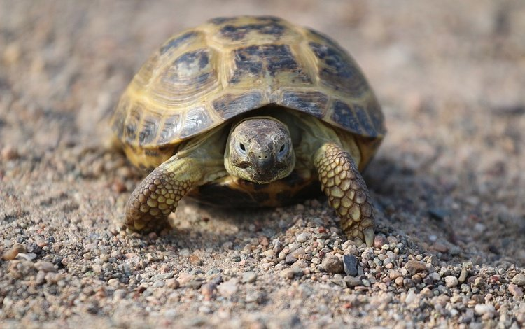 stones, sand, turtle, shell, walk