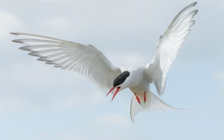 flight, wings, bird, beak, tail, arctic tern