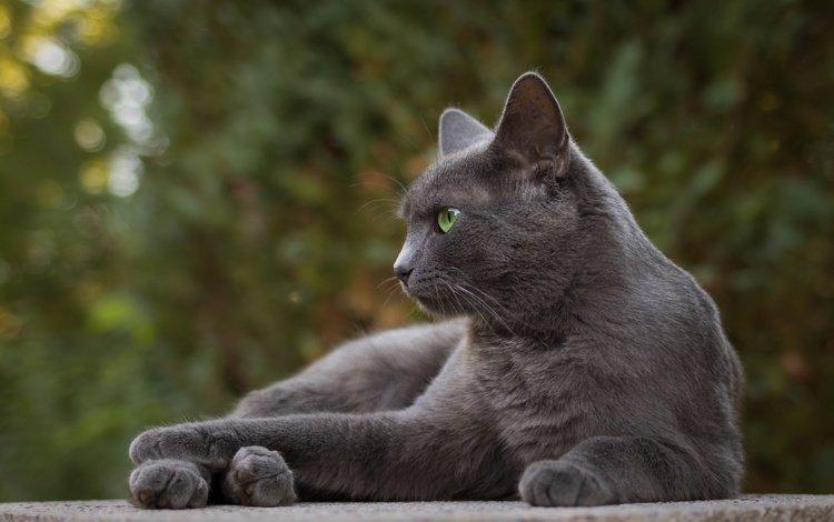 портрет, кот, мордочка, усы, кошка, взгляд, серый, portrait, cat, muzzle, mustache, look, grey