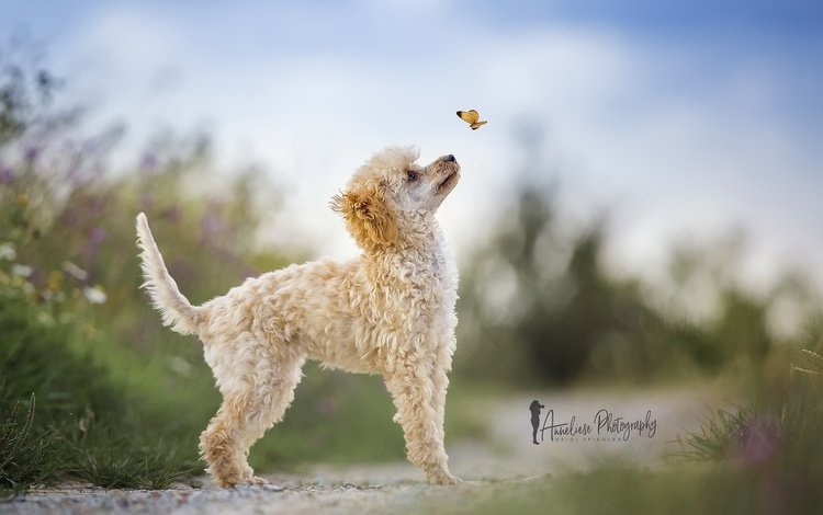 nature, butterfly, dog, poodle, heidi spiegler