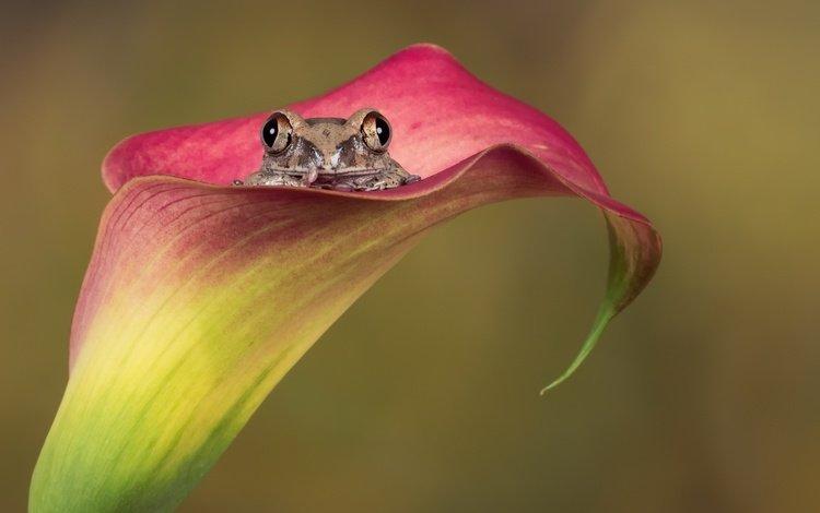 природа, цветок, лягушка, амфибия, nature, flower, frog, amphibian