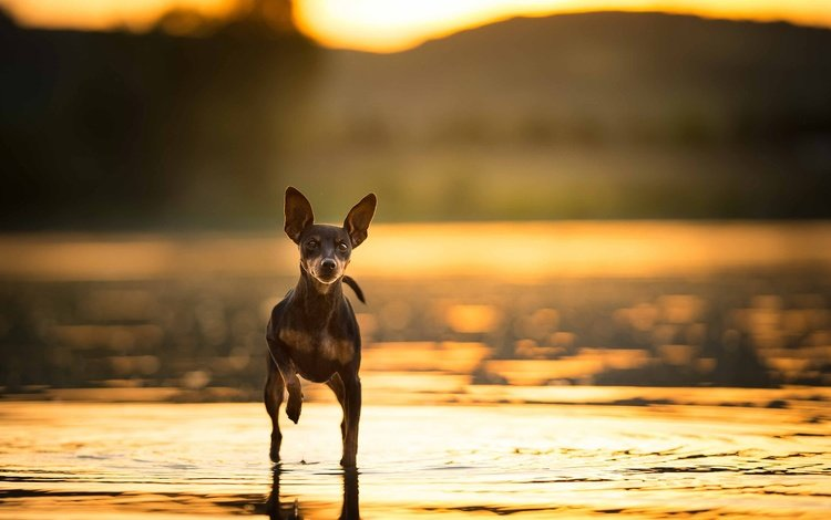 nature, background, dog, each, toy terrier, russian toy terrier
