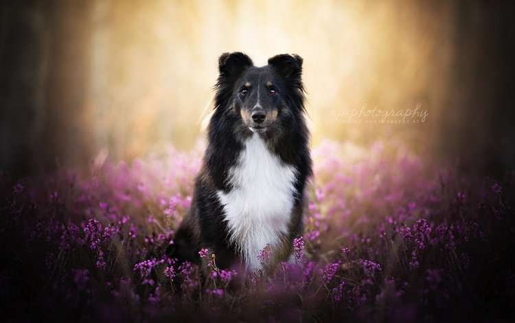 nature, muzzle, lavender, summer, look, dog, the border collie