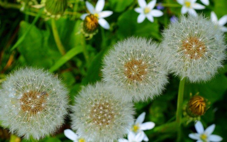 flowers, nature, macro, seeds, dandelions, fluff, fuzzes, blade