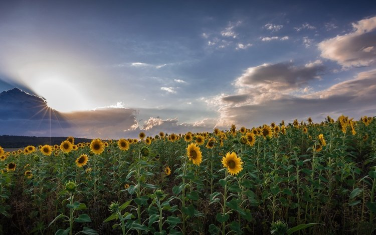 the sky, clouds, nature, field, summer, sunflowers