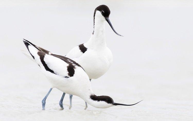bird, beak, pair, pied avocet