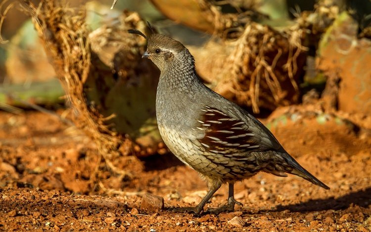 bird, quail, female, common quail crested