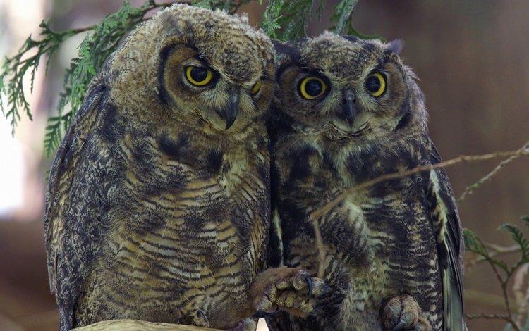 birds, beak, pair, feathers, owls