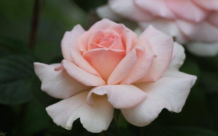 rose, petals, bud