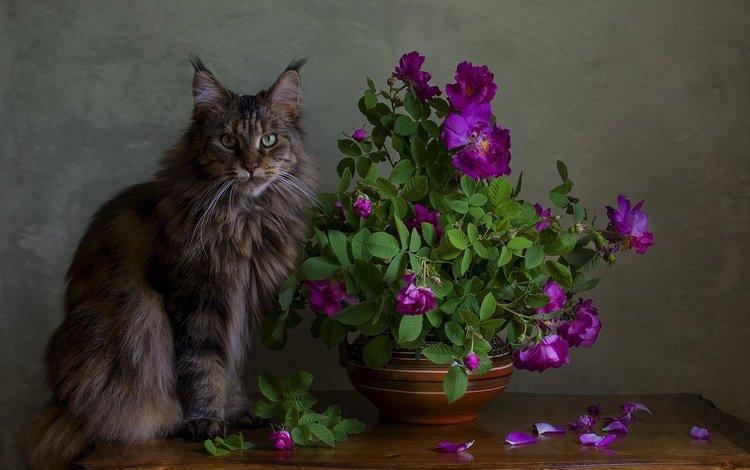кот, мордочка, усы, розы, лепестки, кошка, взгляд, стол, мейн-кун, maine coon, cat, muzzle, mustache, roses, petals, look, table