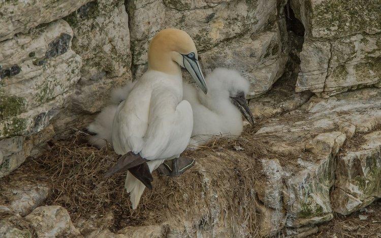 rocks, birds, socket, gannet, the northern gannet
