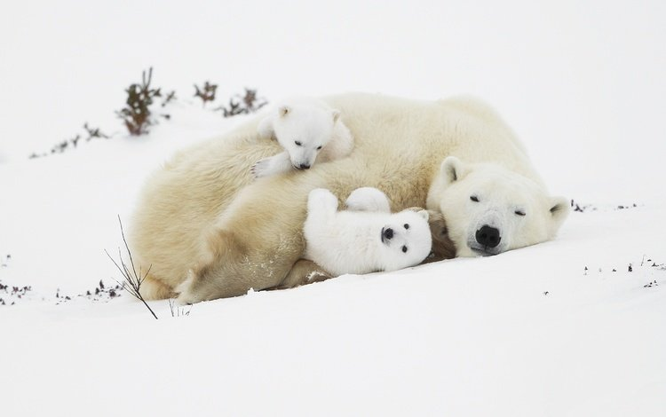 snow, bears, polar bears, bear