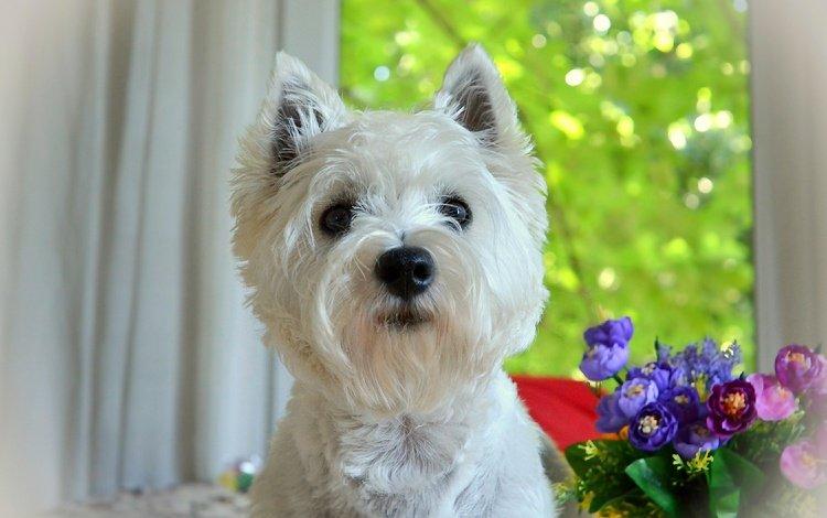 цветы, мордочка, взгляд, собака, щенок, собачка, вест-хайленд-уайт-терьер, flowers, muzzle, look, dog, puppy, the west highland white terrier