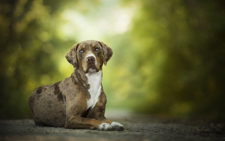 muzzle, look, dog, bokeh, pumpkin, catahoula, leopard dog