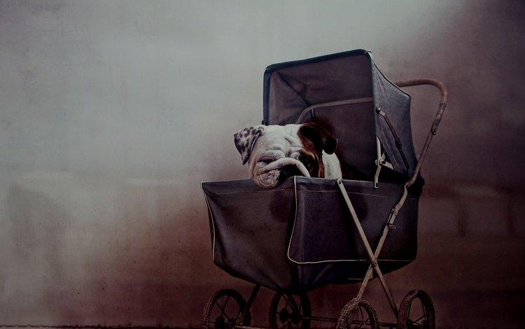 muzzle, look, dog, house, puppy, bulldog, stroller