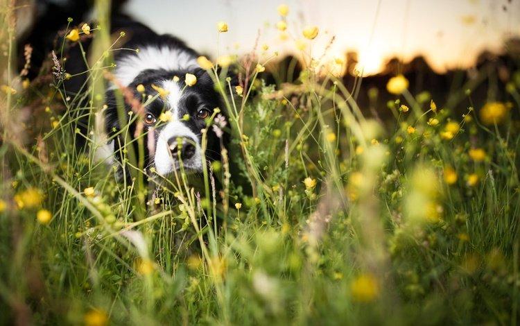 flowers, grass, muzzle, look, dog, each, dandelions, the border collie