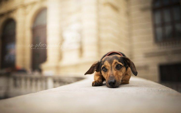 мордочка, взгляд, собака, щенок, друг, такса, muzzle, look, dog, puppy, each, dachshund