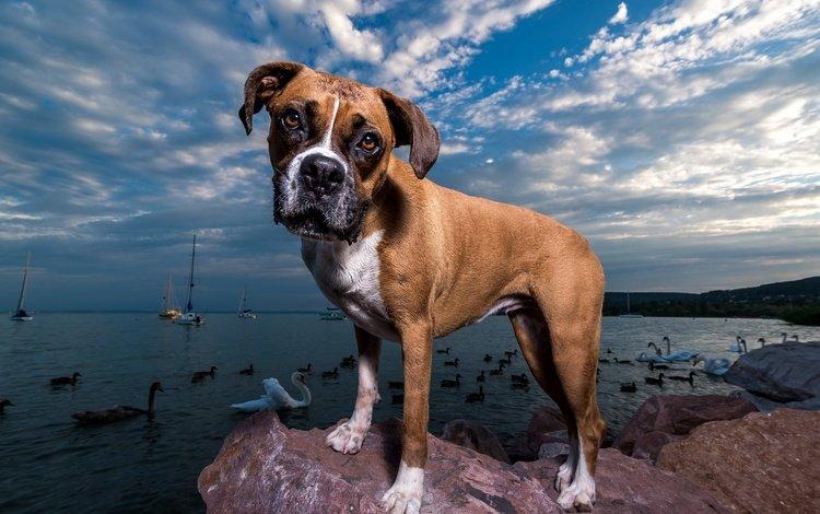 muzzle, look, coast, dog, birds, puppy, each, boxer, viktor valter