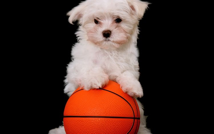 muzzle, look, dog, puppy, black background, the ball, lapdog, maltese