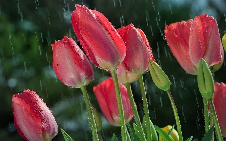 flowers, the sun, buds, drops, spring, rain, tulips, stems