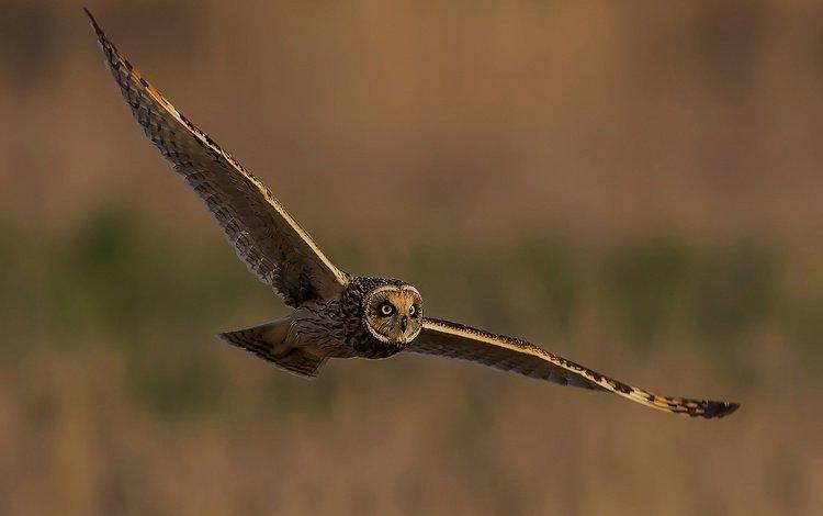 owl, flight, wings, bird