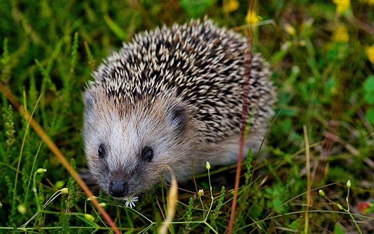 eyes, grass, muzzle, look, barb, hedgehog, needles