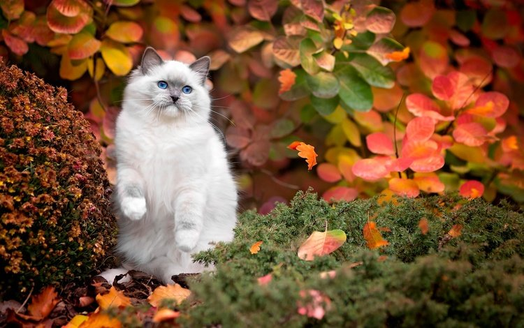 grass, nature, leaves, cat, the bushes, autumn, blue eyes, ragdoll