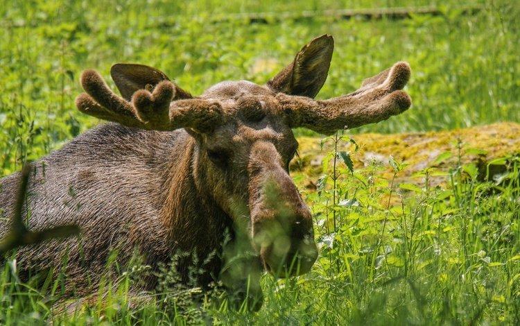 face, grass, look, horns, moose