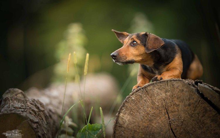 grass, muzzle, look, dog, profile, walk, dachshund, log